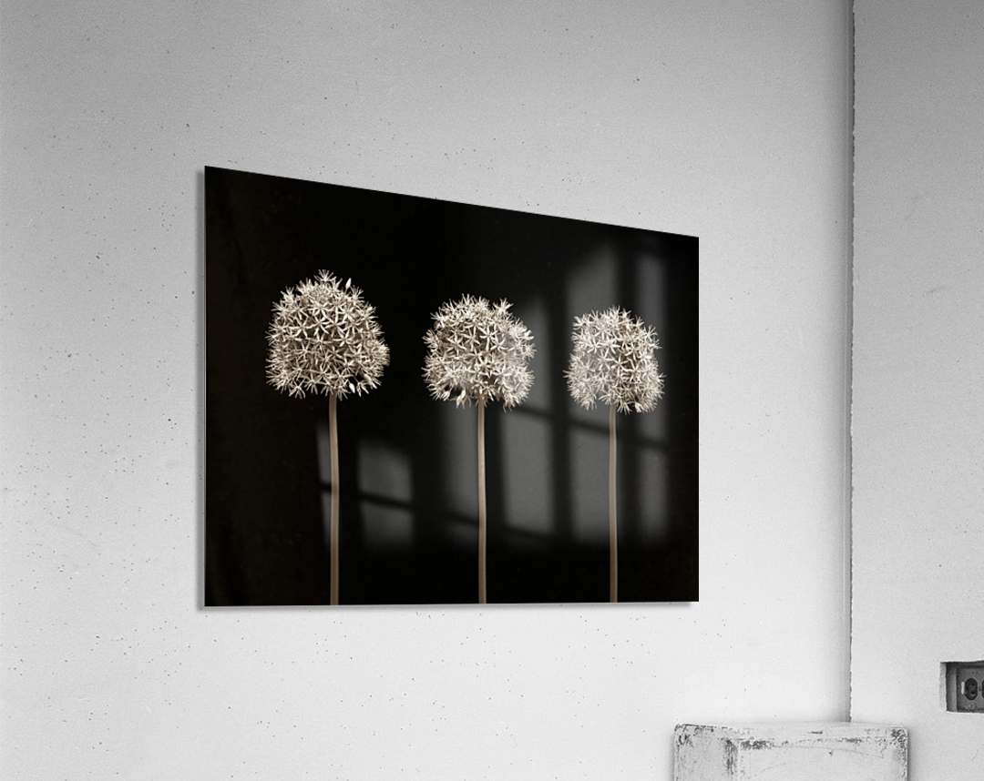 Three allium flowers  Acrylic Print
