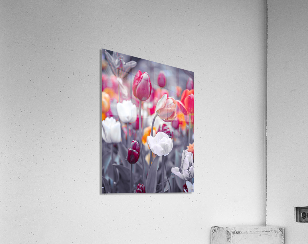 Colorful Tulip flowers  Acrylic Print