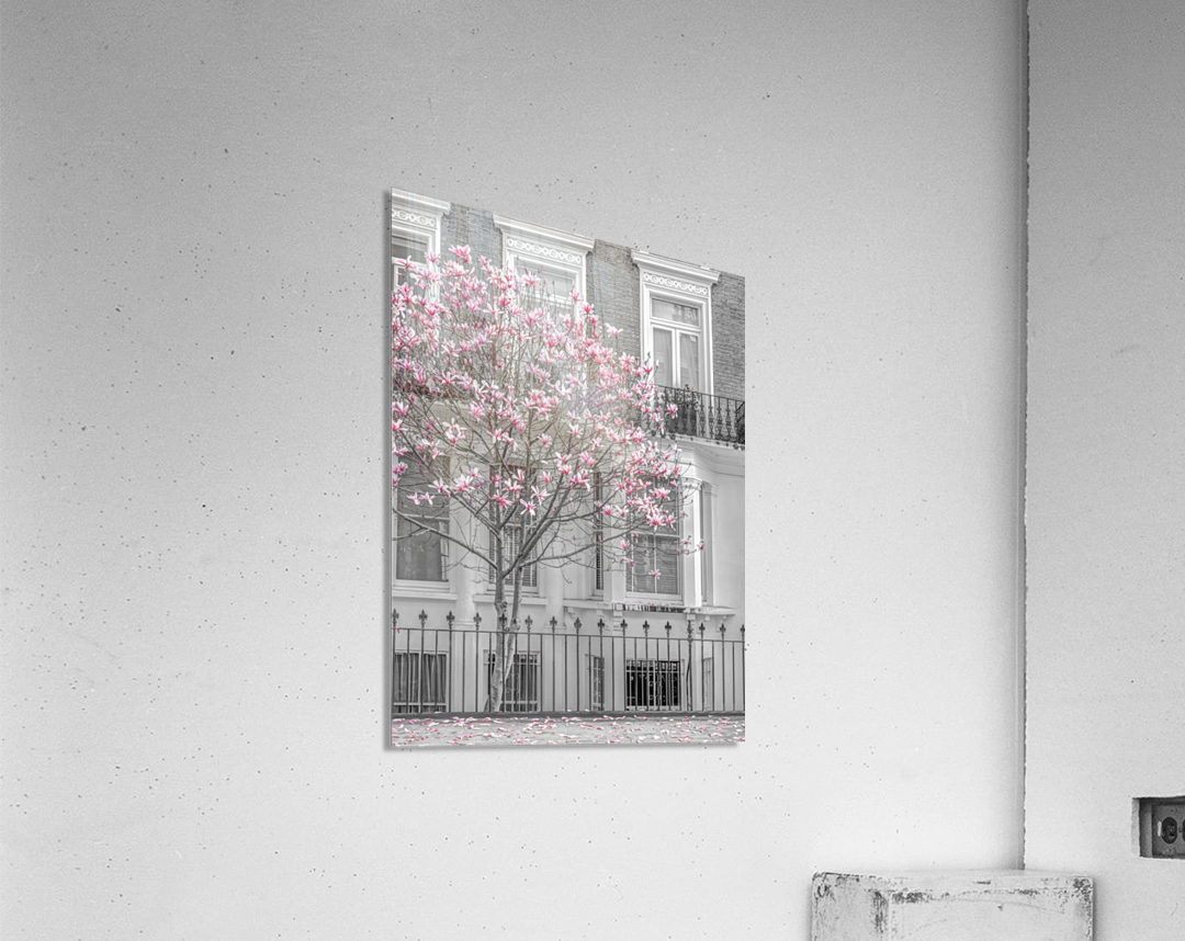 Magnolia tree outside house in London  Acrylic Print