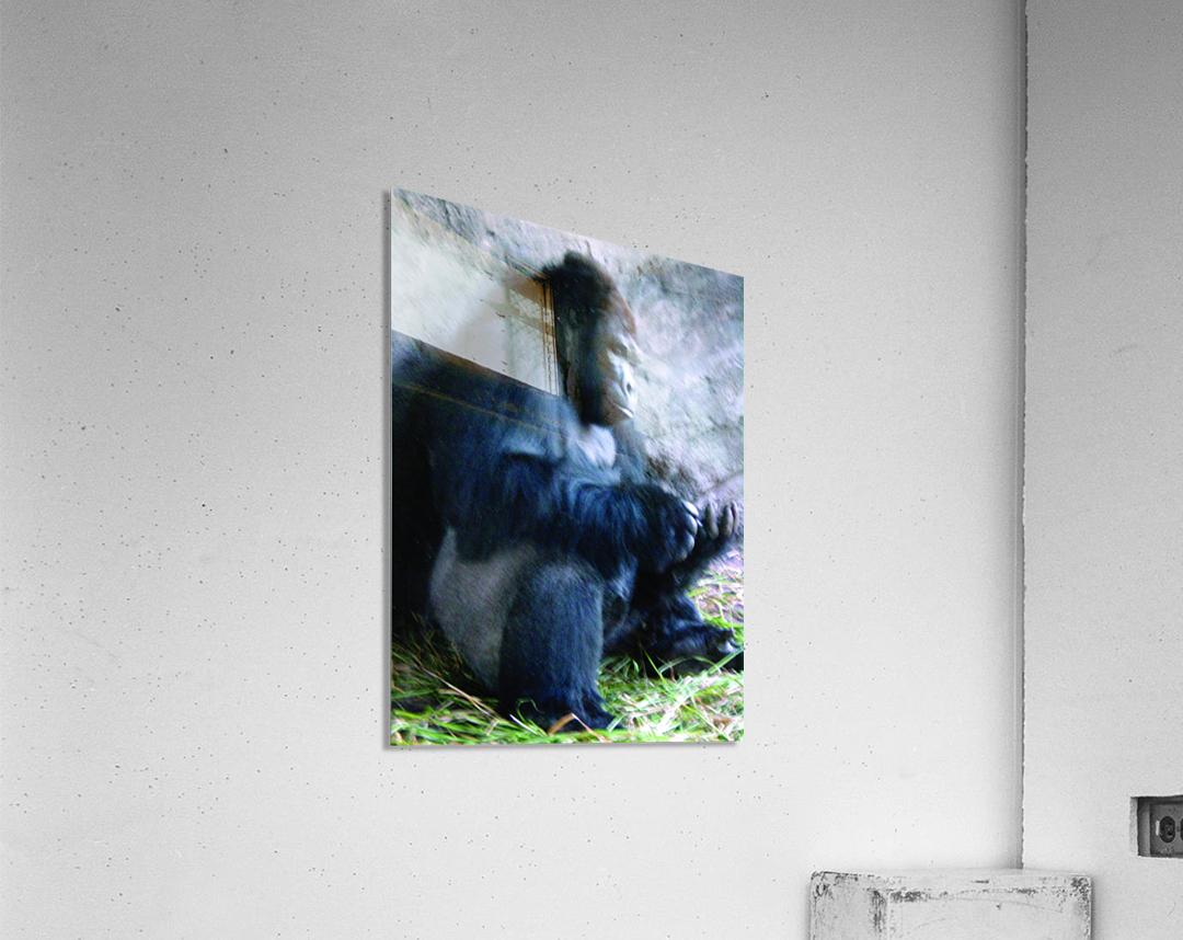 Alone Mountain Gorilla Africa  Acrylic Print