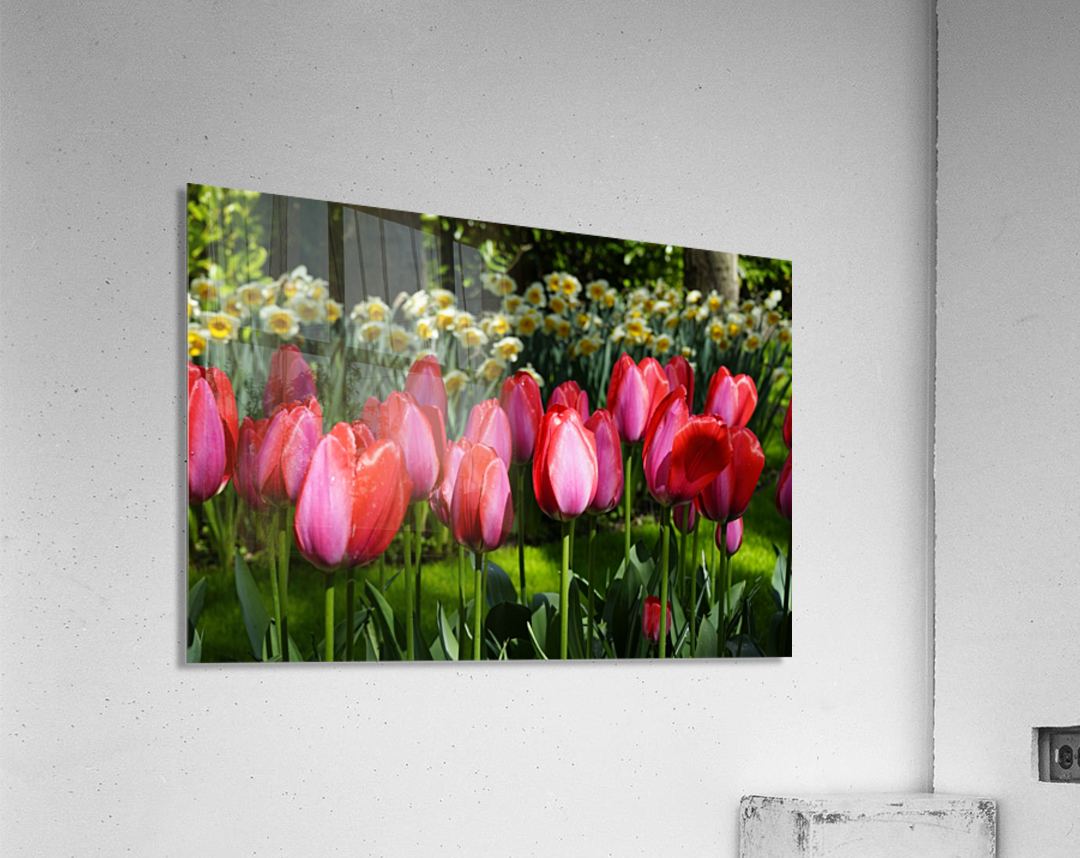 Tulips of the Netherlands 4 of 7  Acrylic Print
