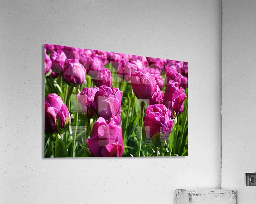 Tulips of the Netherlands 7 of 7  Acrylic Print