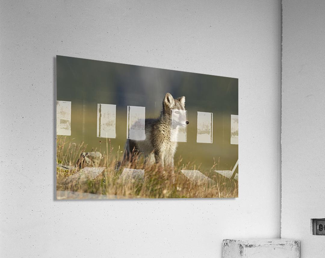 Arctic Fox Puppie by Karen Kolbeck   Acrylic Print