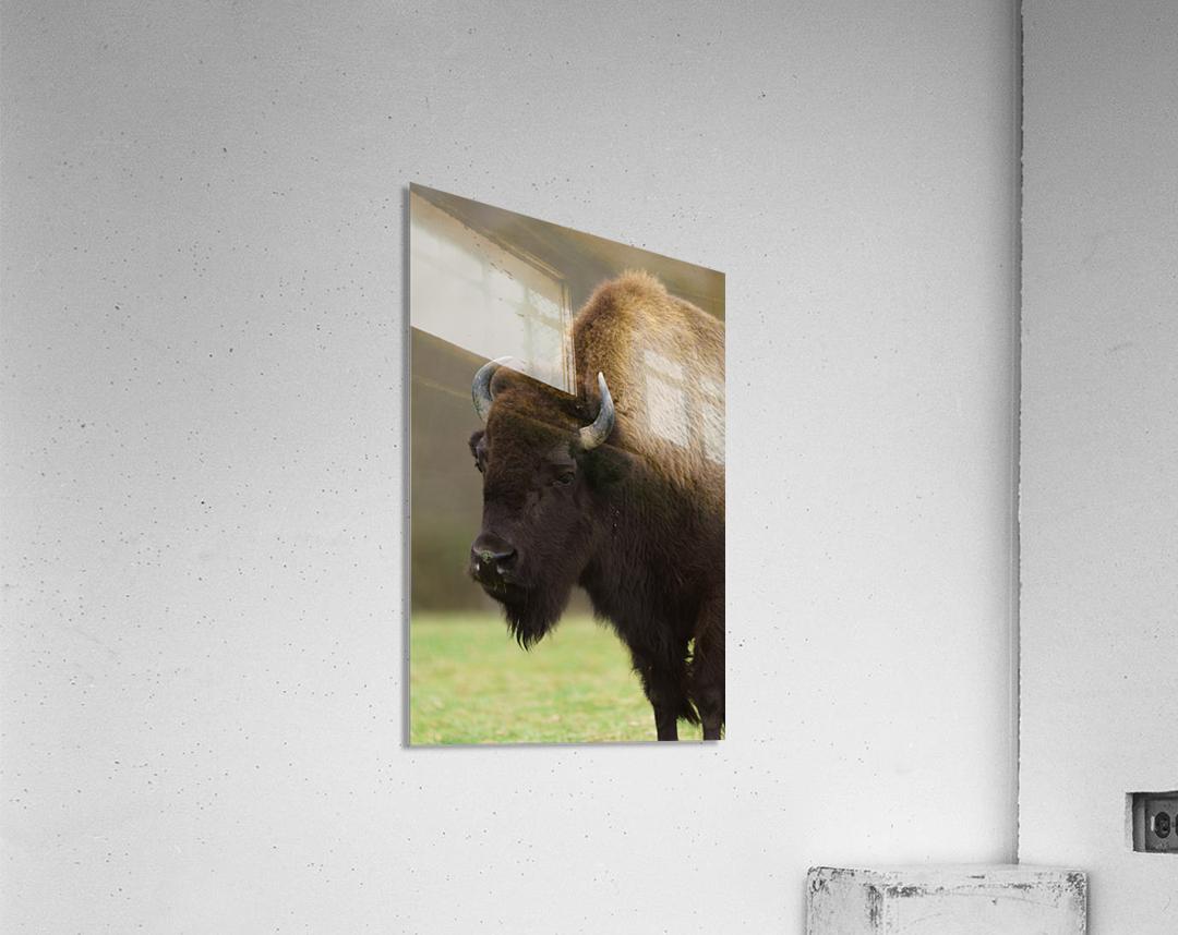 North American Buffalo  Acrylic Print
