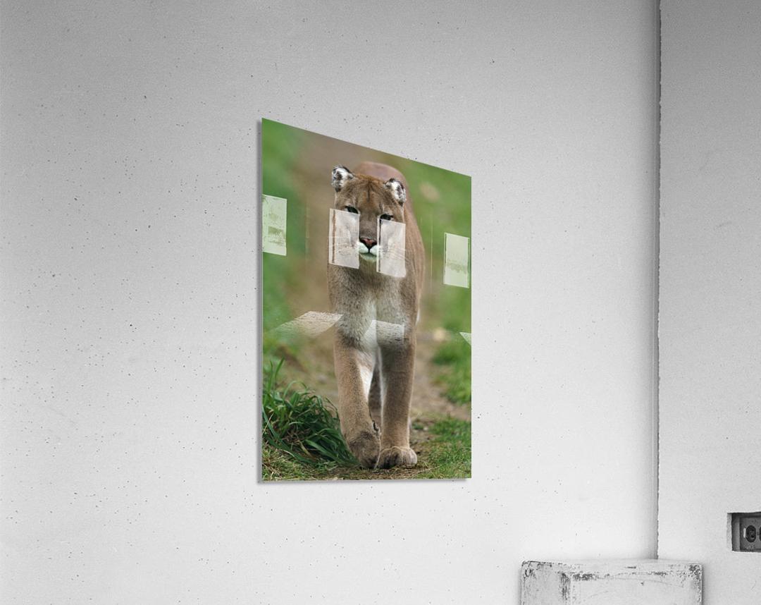 North American Cougar  Acrylic Print