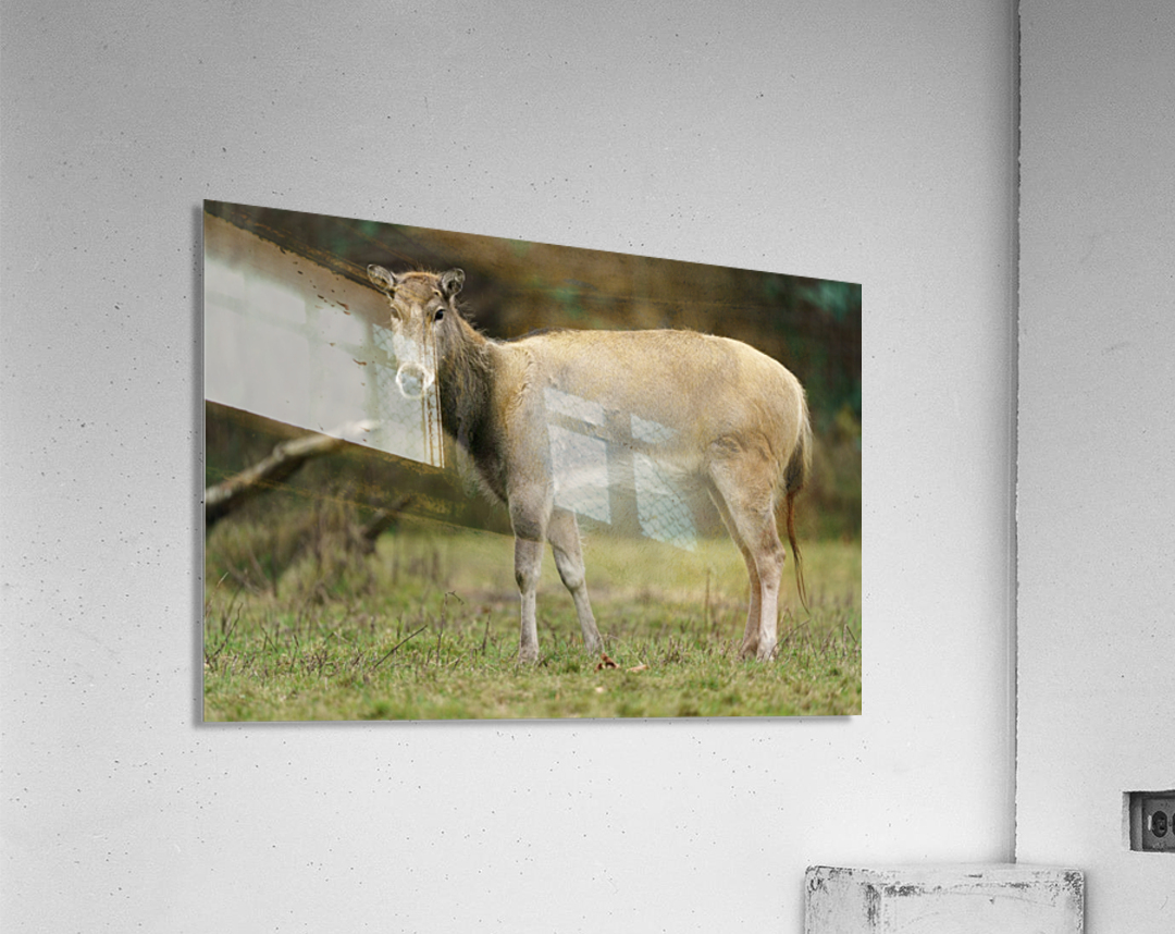 Reindeer  Acrylic Print