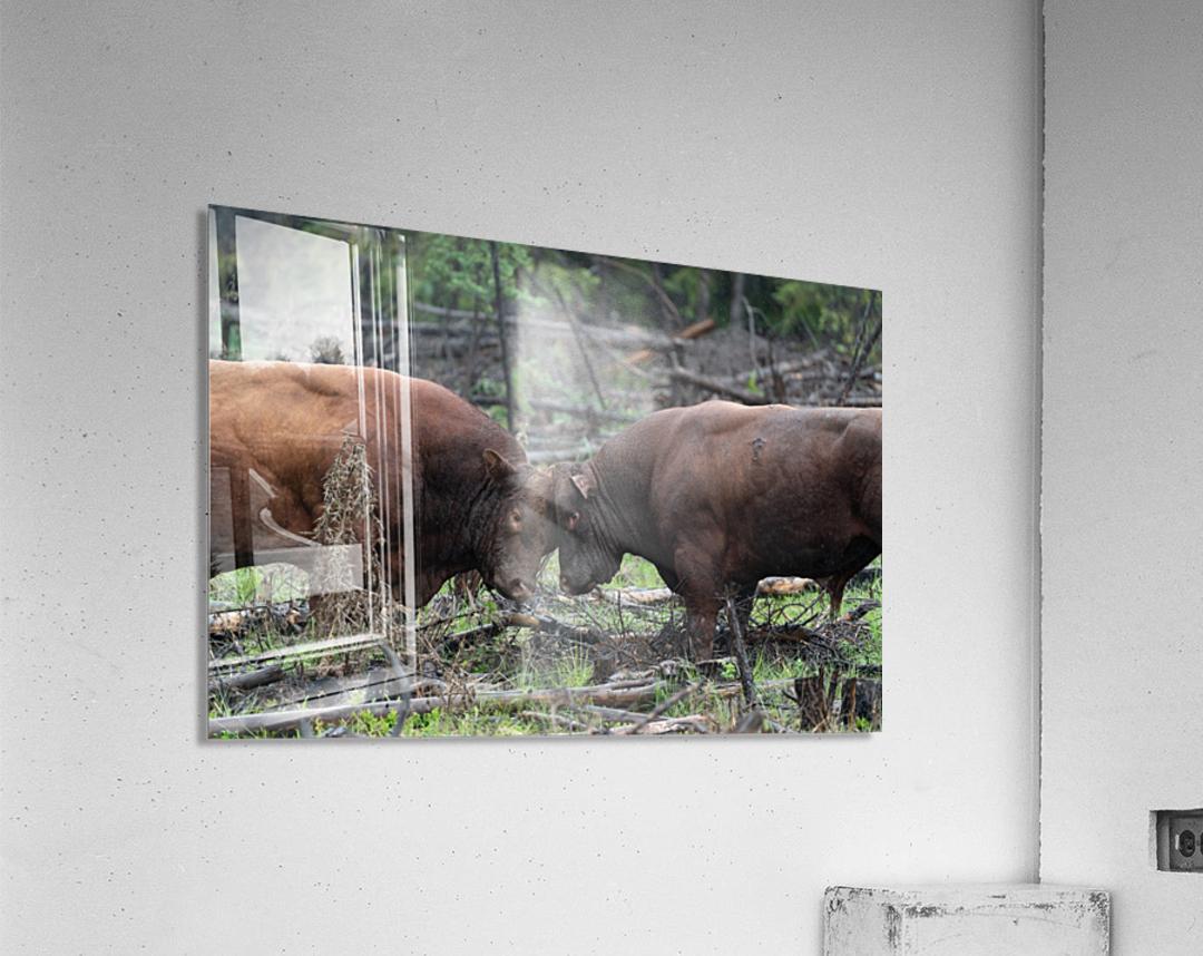 Bulls  Acrylic Print