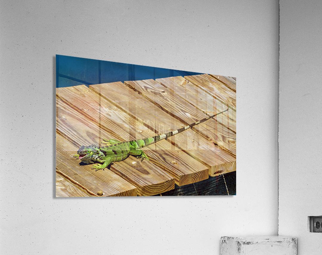 Cayman Green Iguana Eating  Acrylic Print
