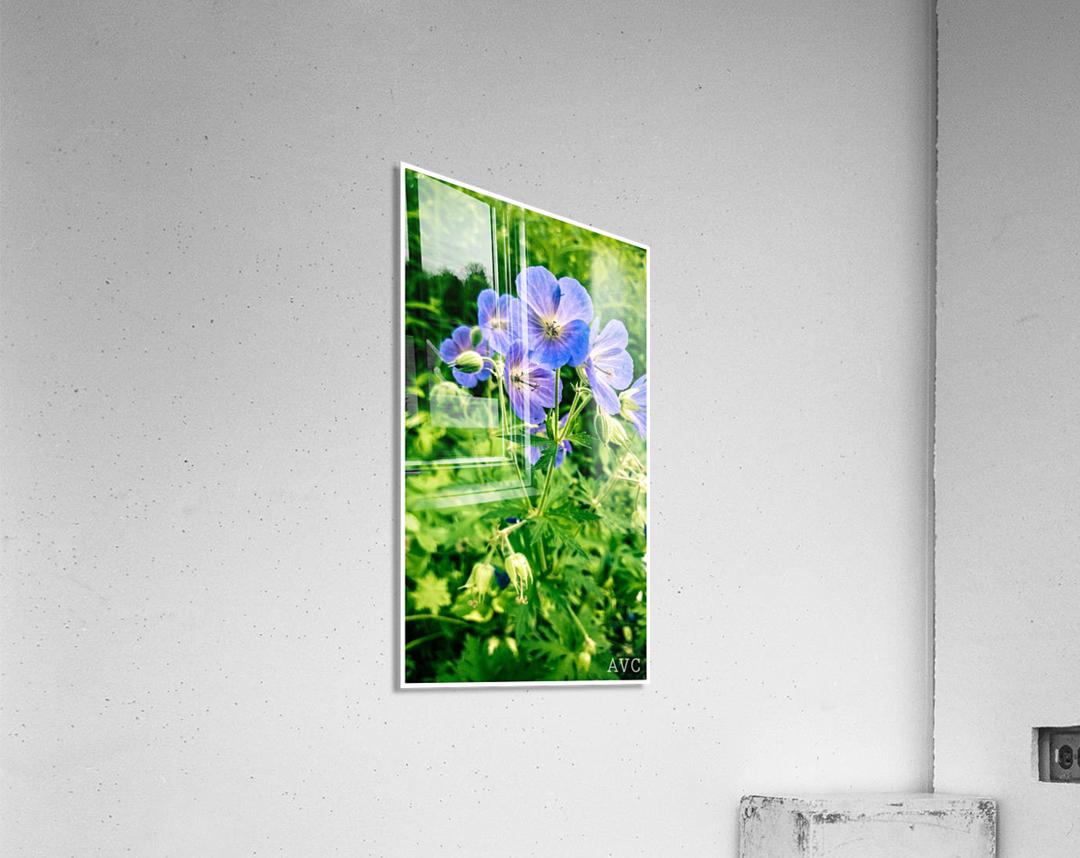 Periwinkle  Acrylic Print