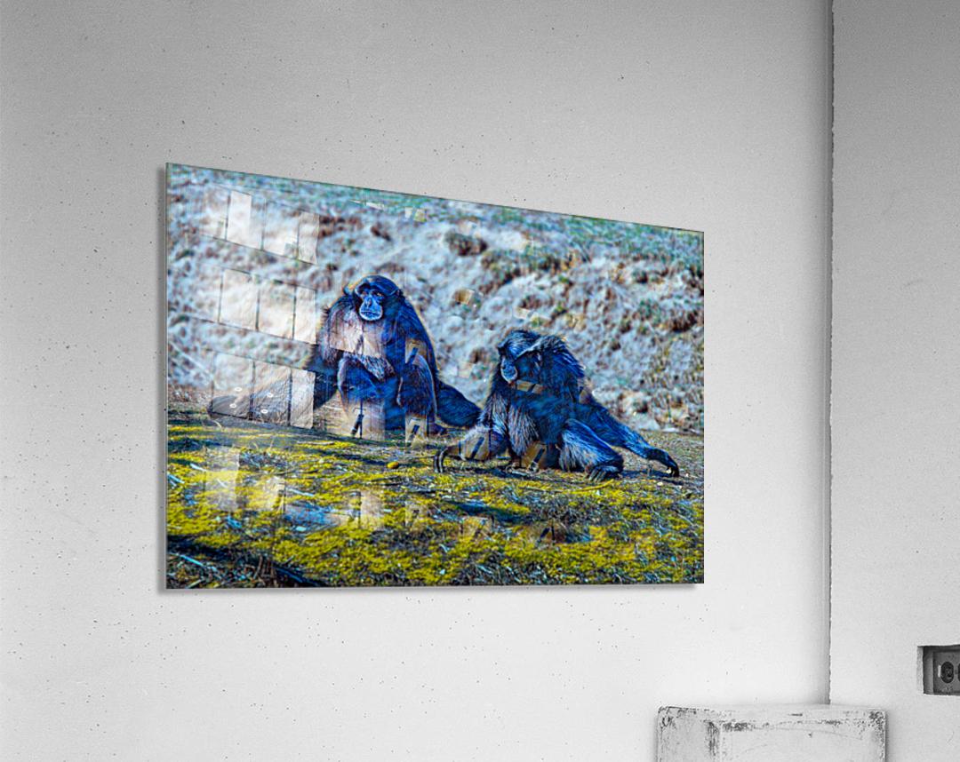 Siamang  Acrylic Print