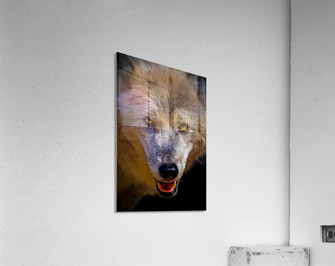Wolf 2  Acrylic Print