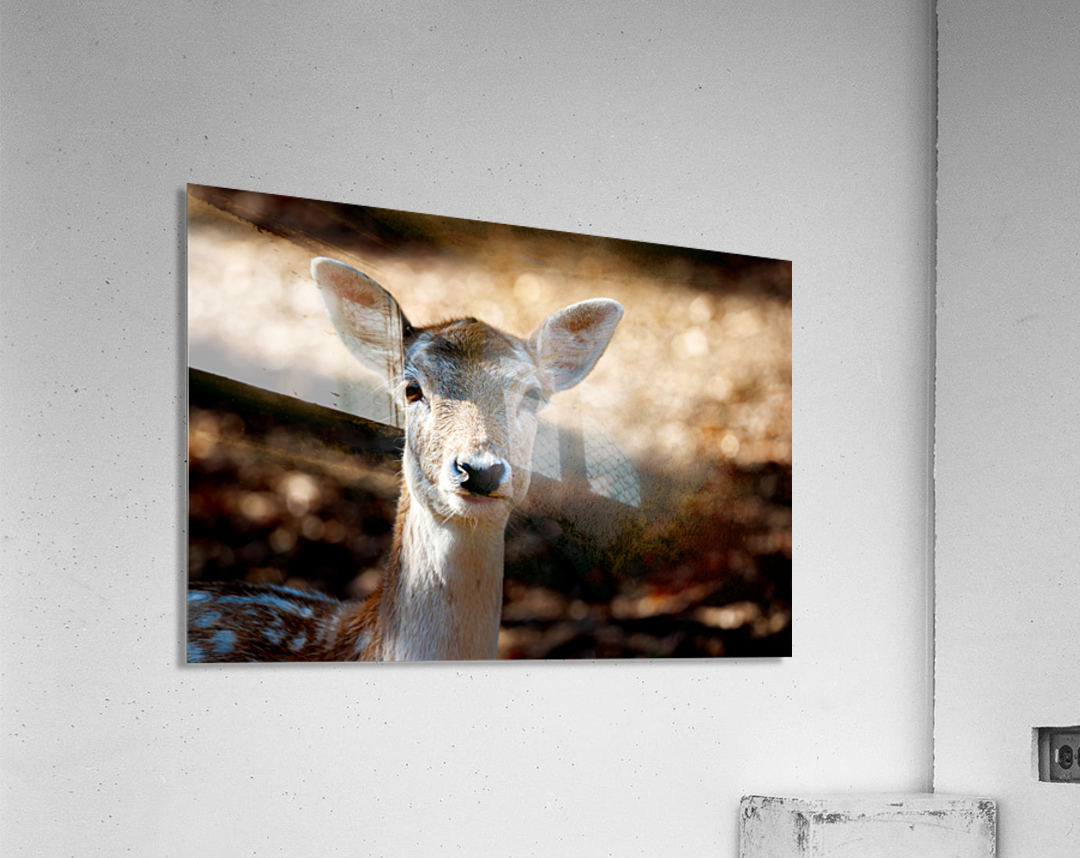 Fallow Deer 1  Acrylic Print