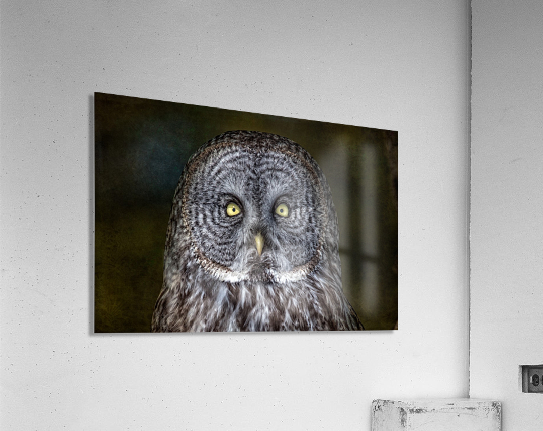 Stare Down with a Great Grey Owl  Acrylic Print