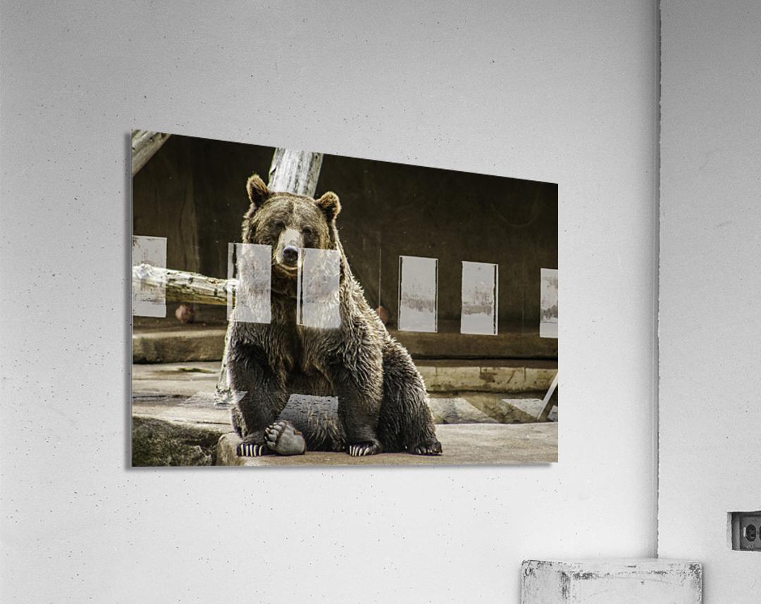 Greetings  Brown Bear   Acrylic Print