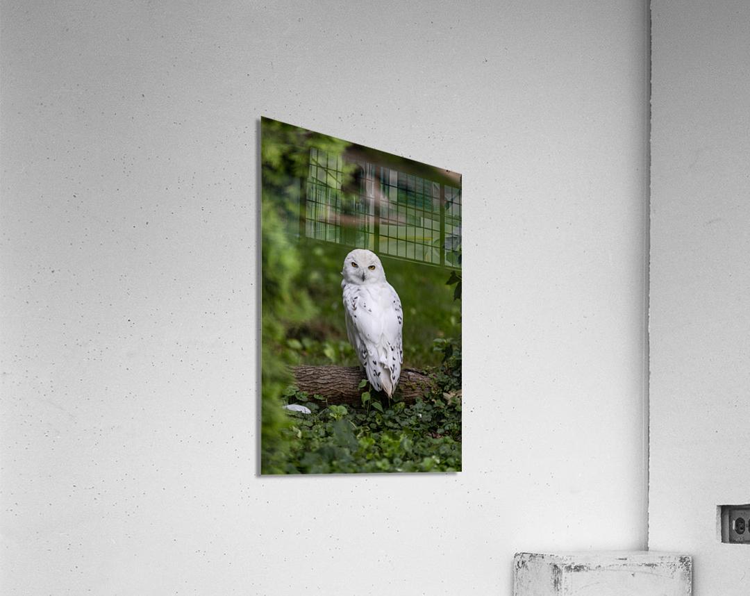 Yellow Eyes  Snow Owl   Acrylic Print