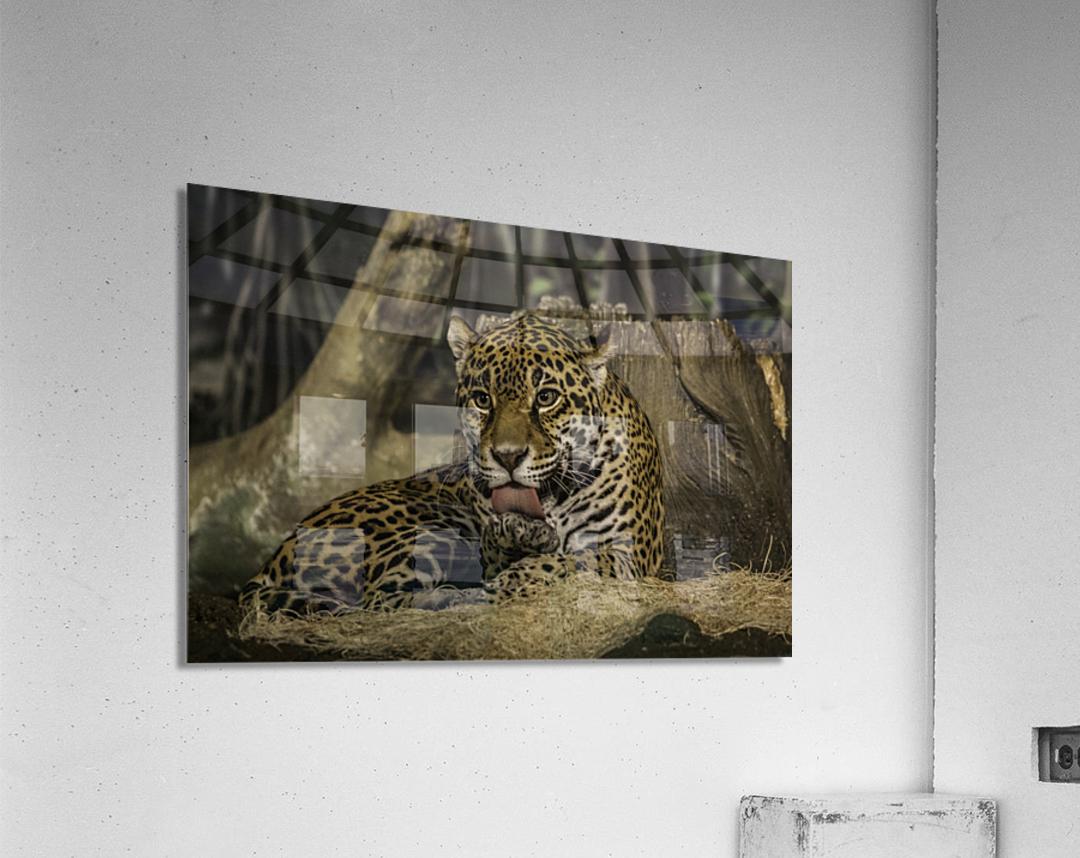 Morning Bath  Jaguar   Acrylic Print