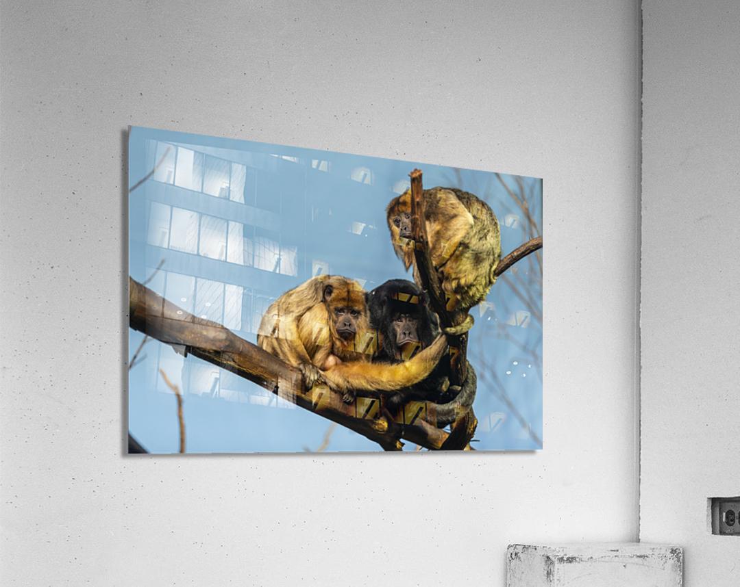 Eyes in the Trees  Howler Monkey   Acrylic Print