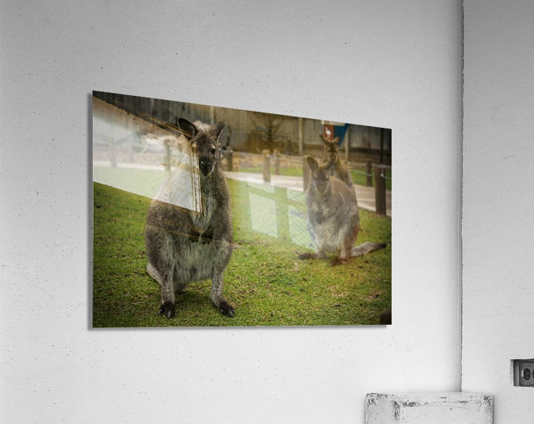 Intriguing   Wallaby   Acrylic Print