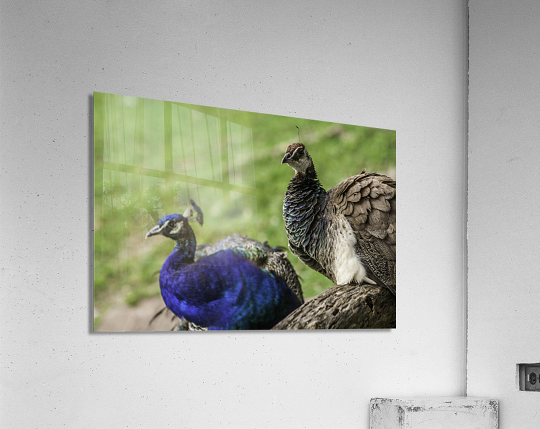 His and Hers  Peacock   Acrylic Print