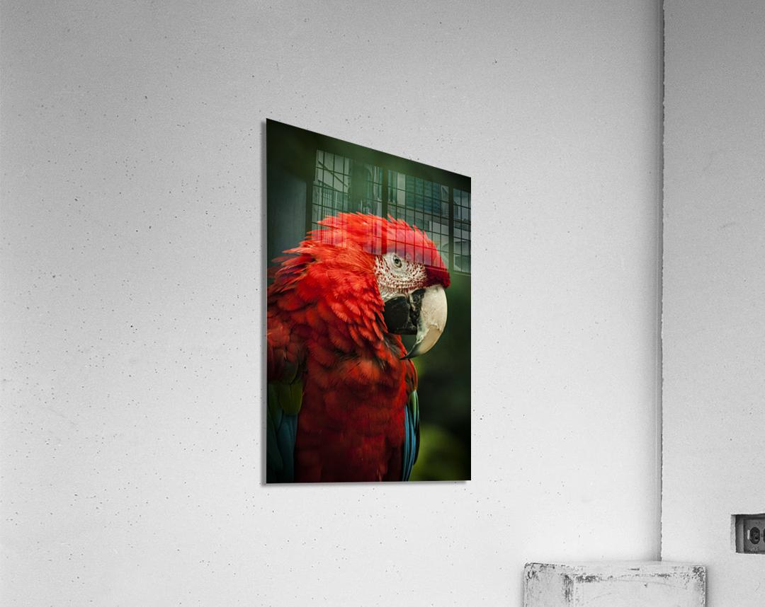 Parrot Portrait  Acrylic Print