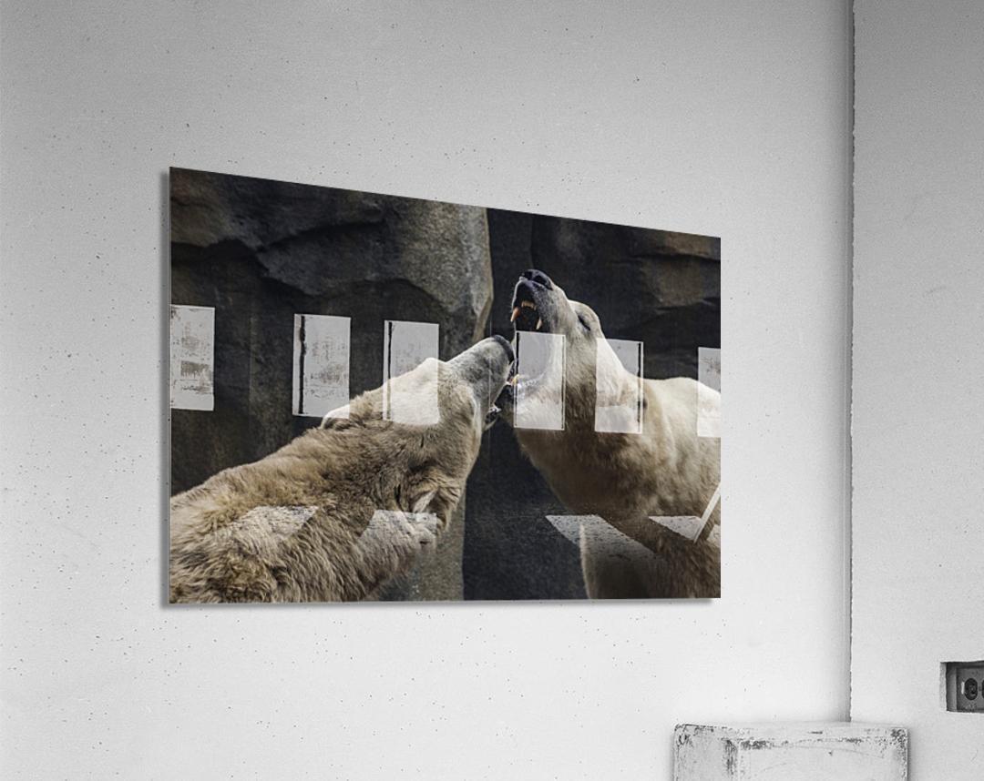The Fight   Polar Bears   Acrylic Print