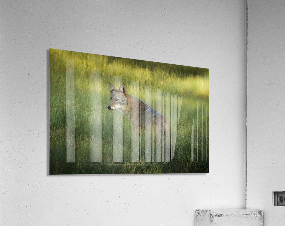 Evening Coyote  Acrylic Print