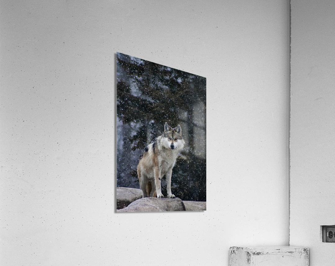 Cold Night Wolf  Acrylic Print