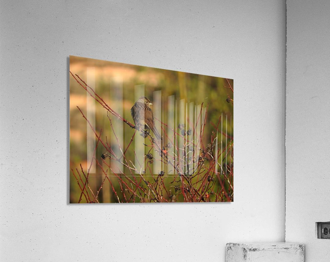 Sparrow on Wild Rose   Acrylic Print