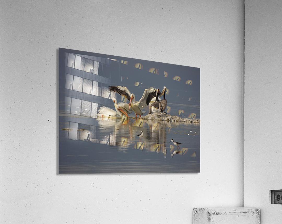 Pelican Reflections  Acrylic Print