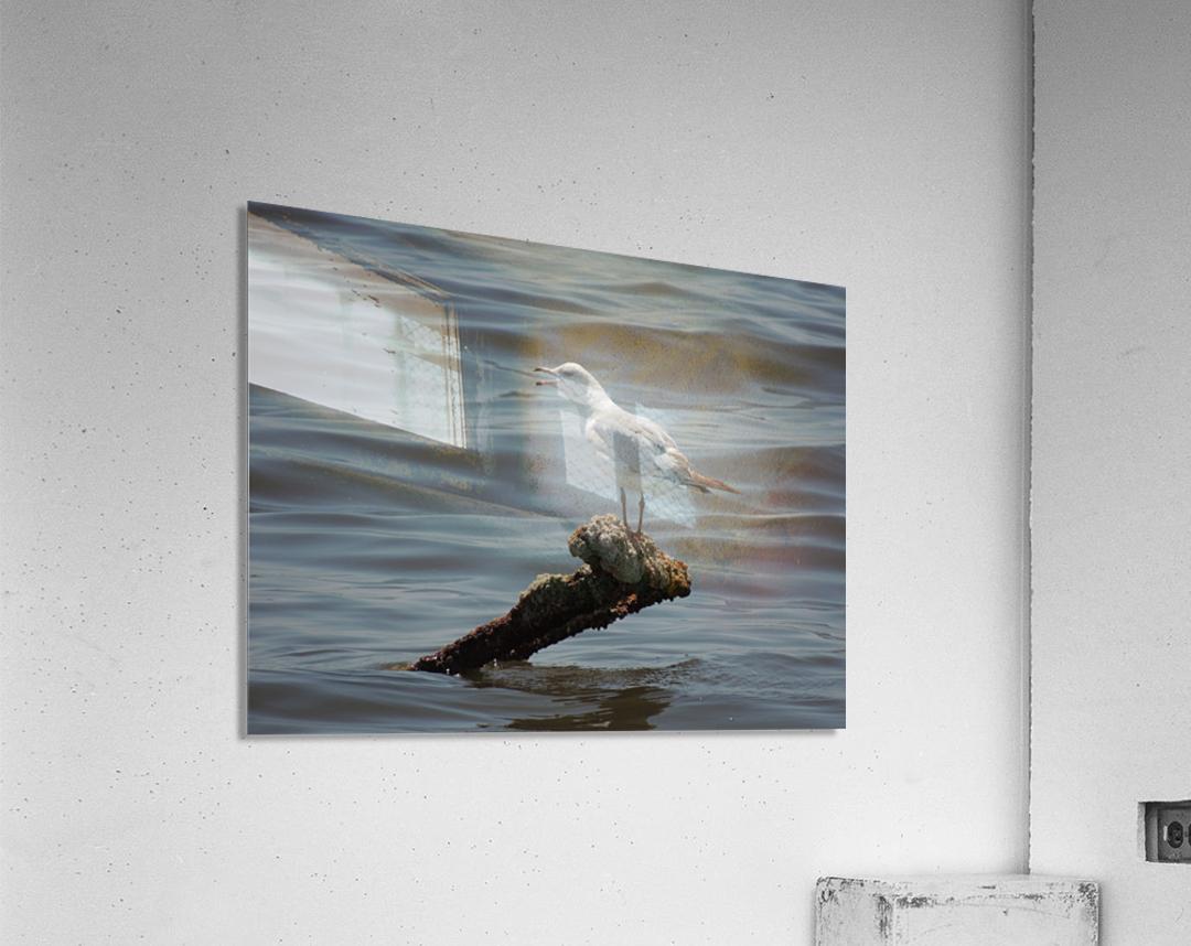 Ring-billed Gull  Acrylic Print
