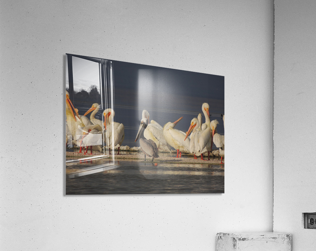 Pelicans at the Salton Sea  Acrylic Print