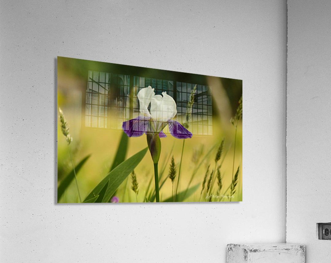 Iris Doll  Acrylic Print