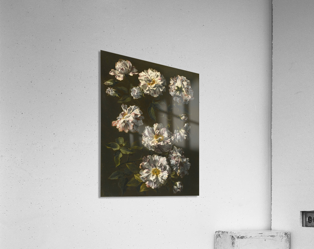 A study of striped white gallica roses  Acrylic Print