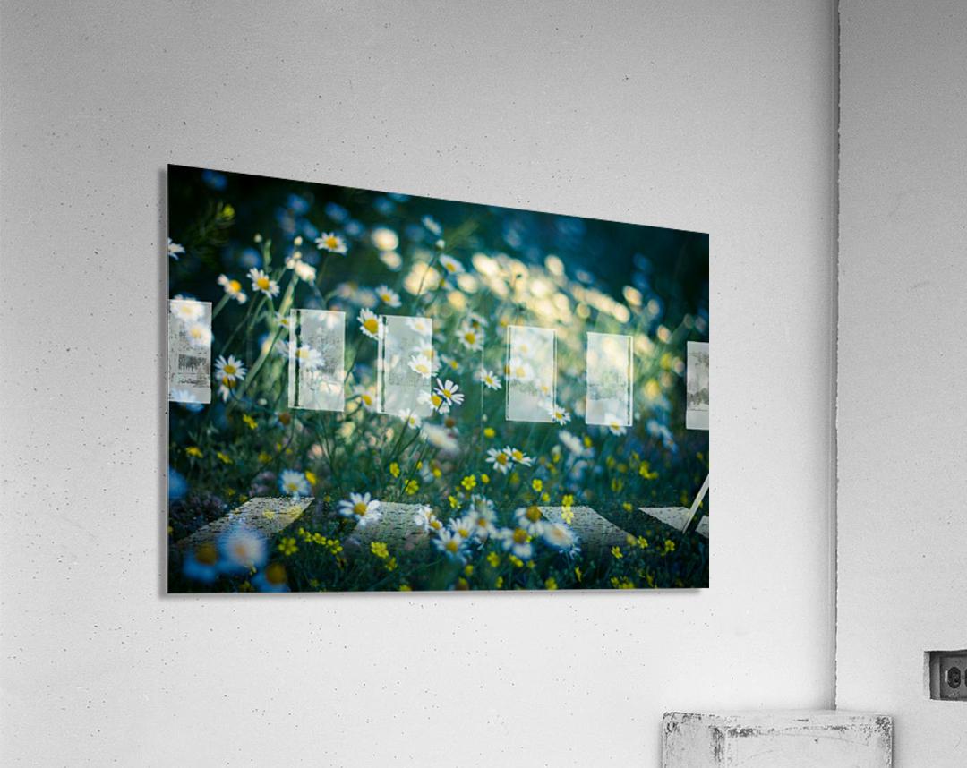 Summer, spring daisy field  Acrylic Print
