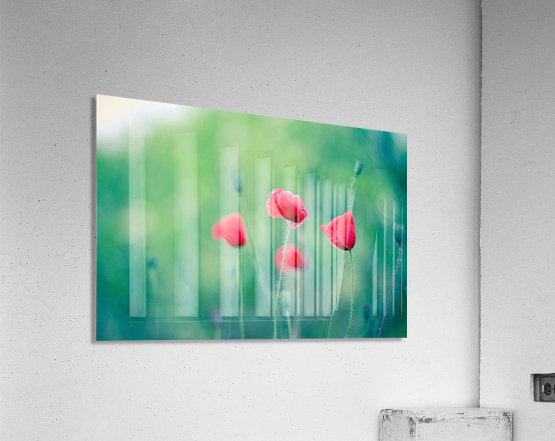 Summer poppy flowers  Acrylic Print