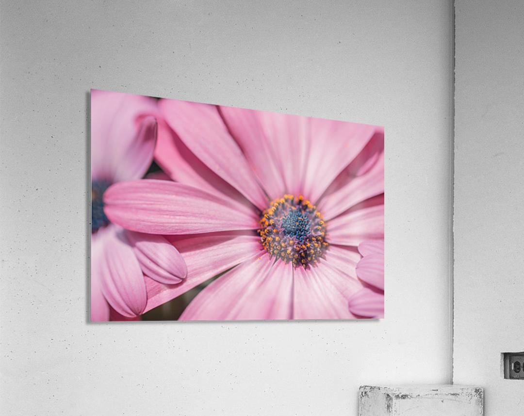 Gerbera flower background  Acrylic Print