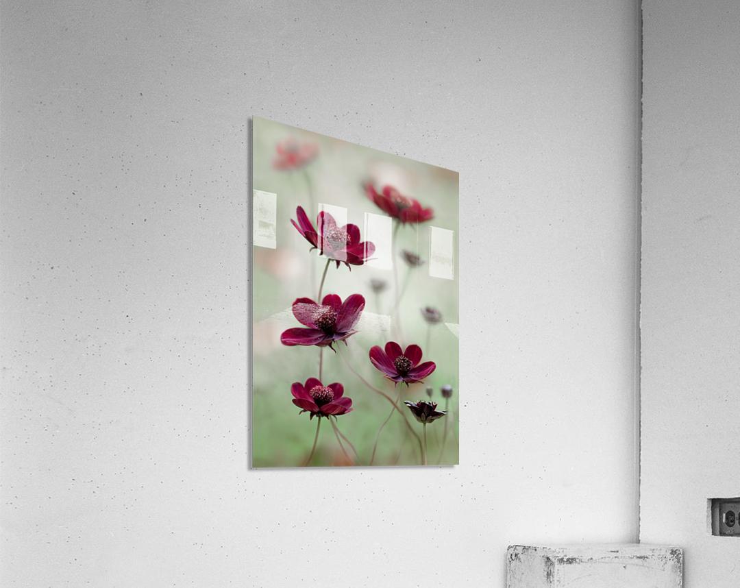 Cosmos sway  Acrylic Print