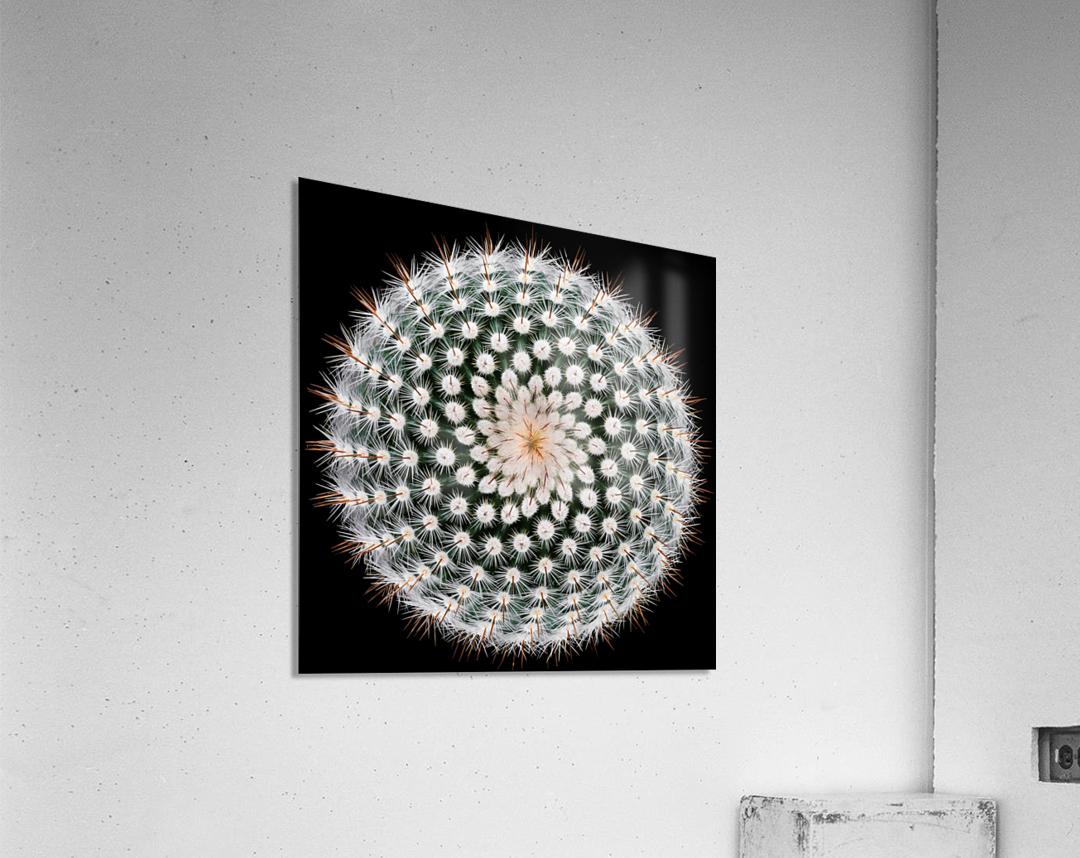 Notocactus scopa  Acrylic Print