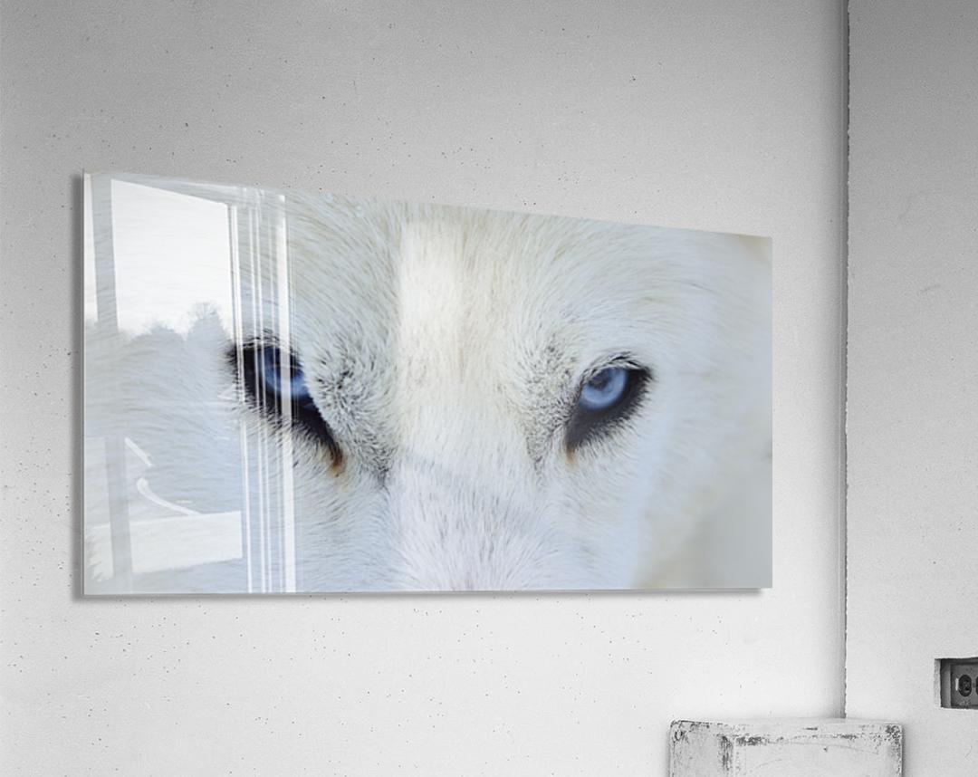 Mirada azul  Acrylic Print