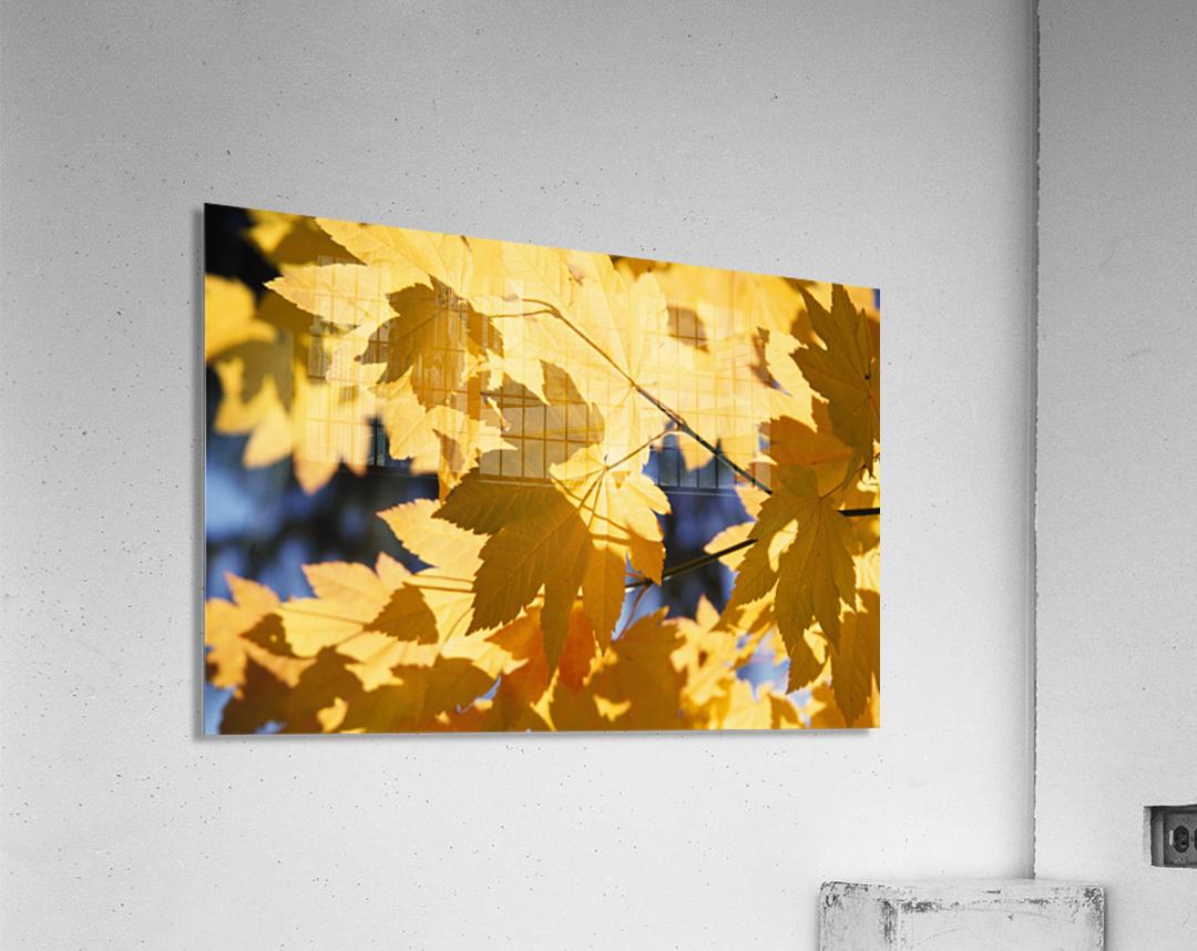 Vine Maples Leaves In Autumn  Acrylic Print