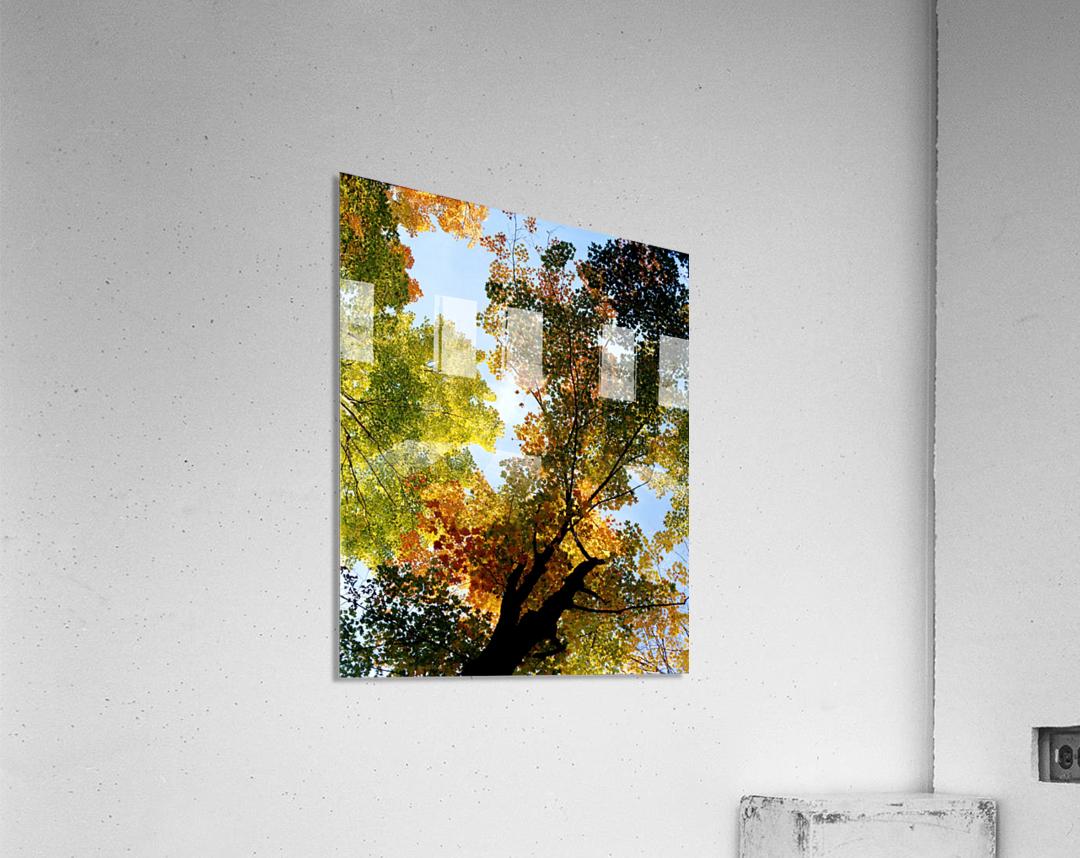 Autumn Trees Low-Angle  Acrylic Print