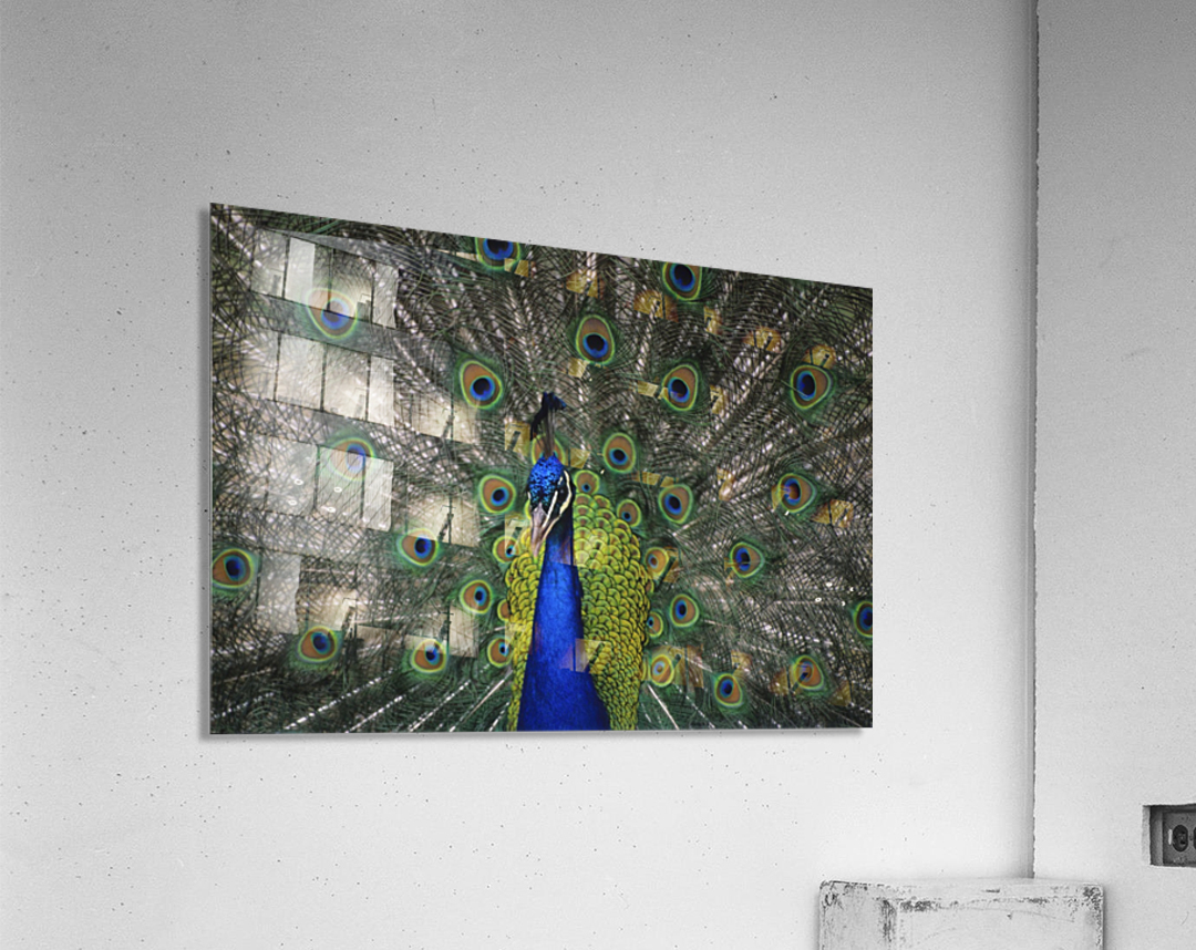 Peacock In Open Feathers, Victoria, Bc Canada  Acrylic Print