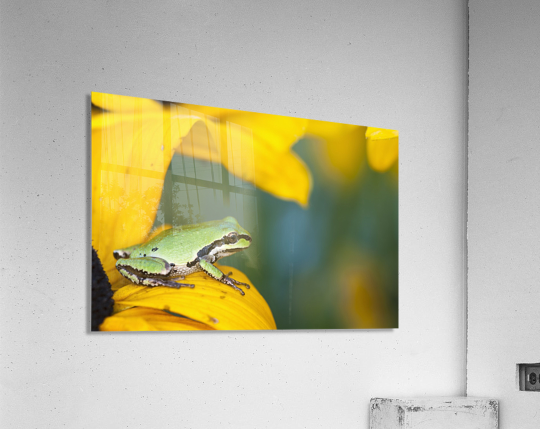 A Pacific Tree Frog (Pseudacris Regilla) Hunts For Insects On A Rudbeckia Blossom; Astoria, Oregon, United States Of America  Acrylic Print
