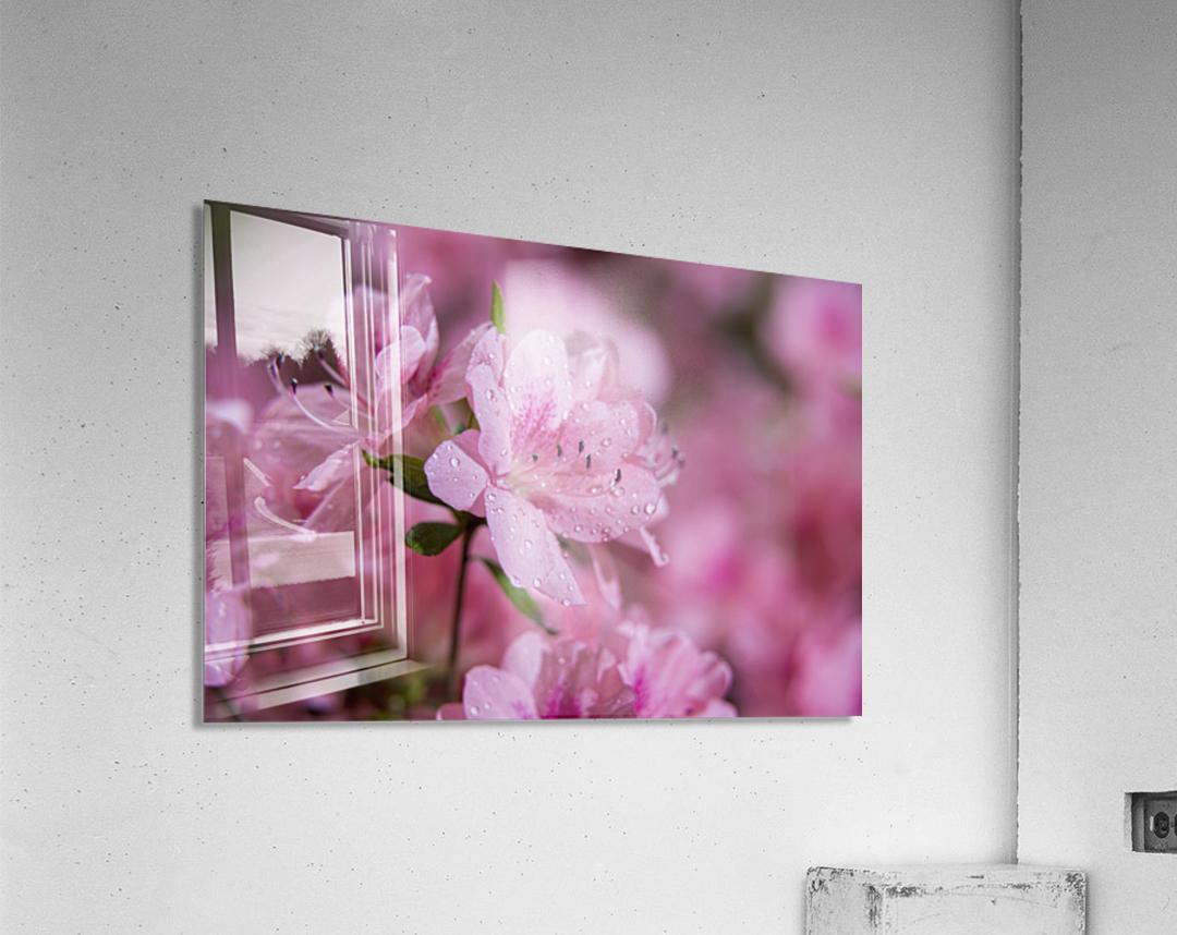 Pericat hybrid azaleas (Mrs. Fisher), Rhododendron (Ericaceae), New York Botanical Garden; New York City, New York, United States of America  Acrylic Print