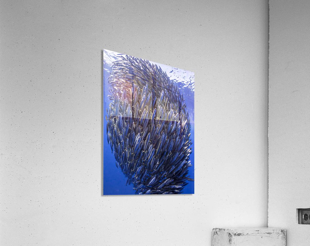Bait ball  Acrylic Print