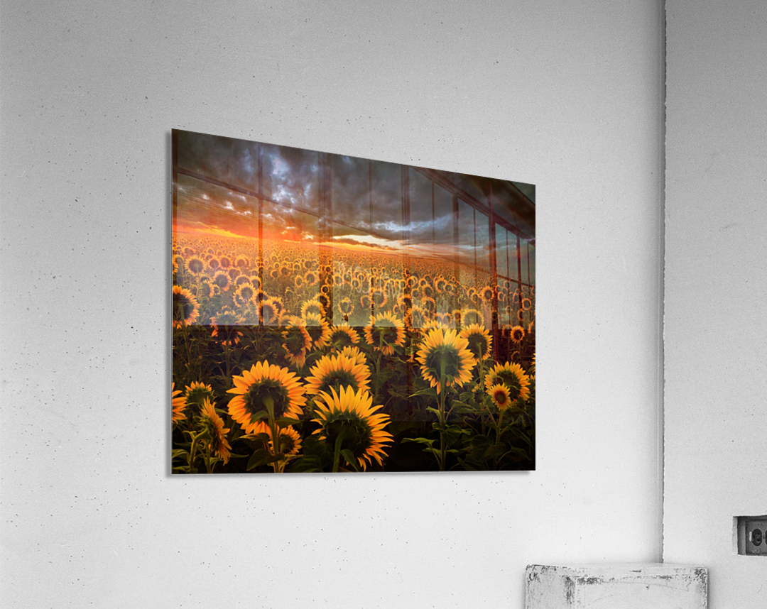 Sunflower Field  Acrylic Print