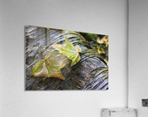 Maple leaves in autumn as they lay across a rotting log in a forest;British columbia canada  Acrylic Print