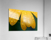 Close up of water droplets on yellow flower petals; South Shields, Tyne and Wear, England  Acrylic Print
