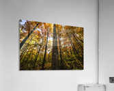 Looking up at the colourful canopy of leaves of Algonquin Park; Ontario, Canada  Acrylic Print