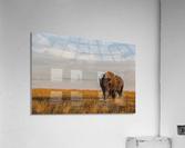 Bison (bison bison), Grasslands National Park; Saskatchewan, Canada  Acrylic Print